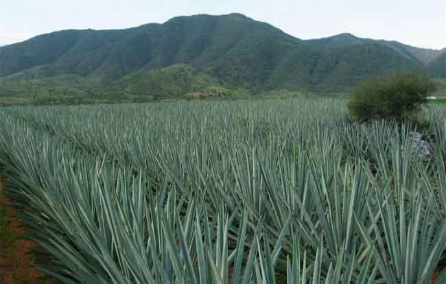 Tequila vs. Mezcal 10